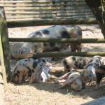 Alte, längst vergessene Haustierrassen – im Freilichtmuseum am Kiekeberg leben neben vielen anderen Tieren auch die Bunten Bentheimer Schweine - Bild FLMK